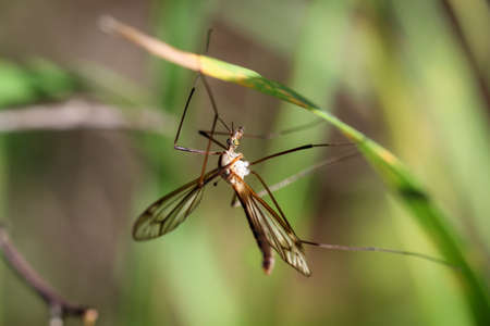 Close up of a schnake, long leg mosquito in the grass Stock Photo