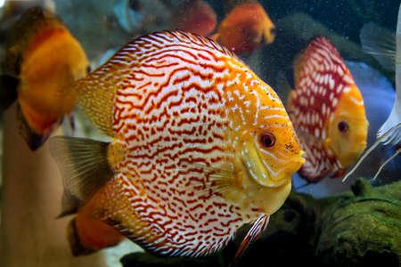 Discus fish in the aquarium, discus fish are cichlids