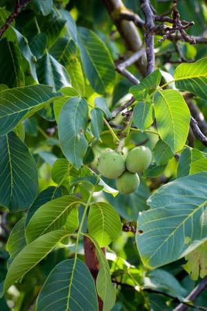 Walnuts still hanging on a tree. Walnuts are natural food.