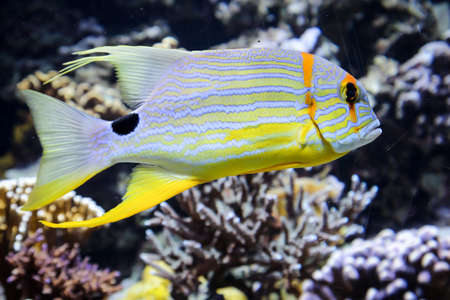 Marine fish in the reef, fish in their natural environment Stockfoto