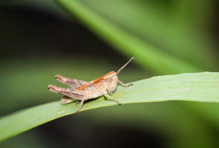 Close up of a grasshopper sitting on a blade of grass