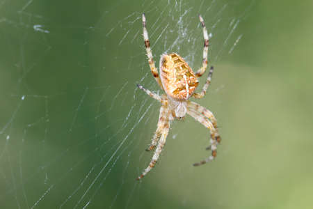 A macro of a garden spider on the web
