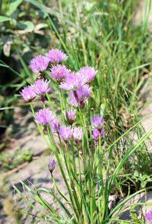 Chives with particularly large and bright flower balls.