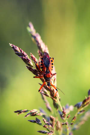 The red murder bug (Rhynocoris iracundus), a particularly attractive type of bug.
