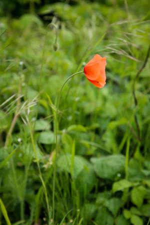 Photo of a poppy in a meadow.
