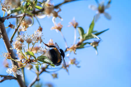 A bumblebee collects nectar from a plant