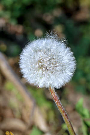 A former dandelion ripened to blow with seeds.