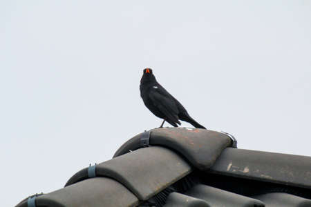 A blackbird has made himself comfortable in an elevated position and has a good view Imagens