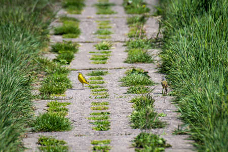 A yellow wagtail on a concrete path in the middle of pristine nature.