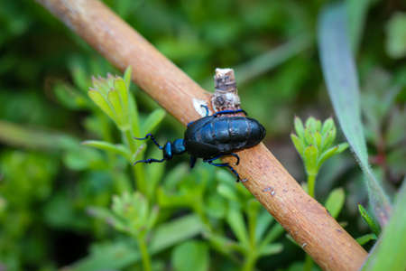 A close up of a black blue oil beetle. These oil beetles can secrete a yellow toxic liquid.