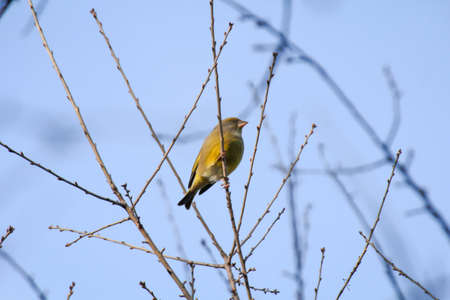 A greenfinch in the branches of a tree
