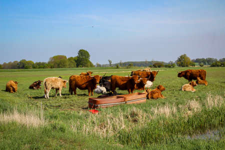 Cattle and cows graze in a pasture or paddock