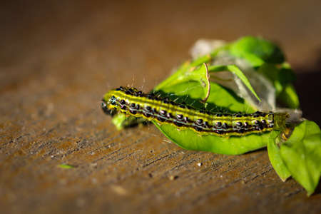 Close-up of a boxwood borer caterpillar. These larvae can destroy entire box trees. Stock Photo