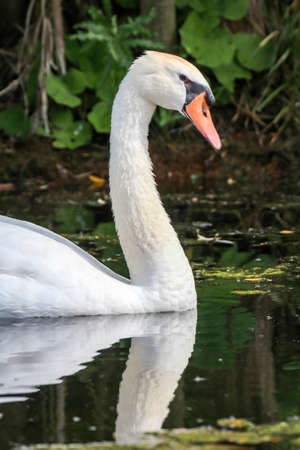 A portrait of a beautiful white mute swan in the water Archivio Fotografico