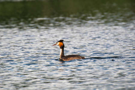 A portrait of a great crested grebe swimming on a lake. Banque d'images