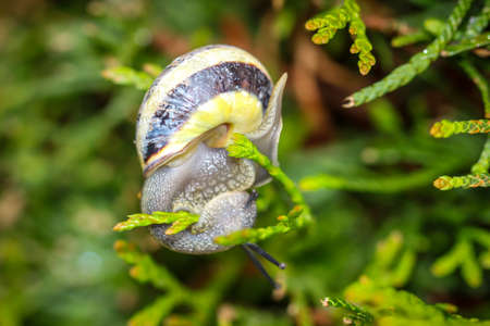Close-up of a ribbon snail. The ribbon snails belong to the land lung snails.