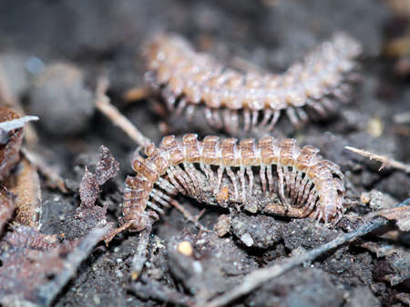 A macro shot of a centipede, or centipede, insect