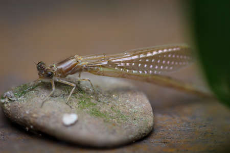 Portrait of a dragonfly (Zygoptera) or water maid. They belong to the dragonflies.