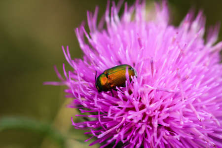 Close-up of a green yellowish beetle on a milk thistle.