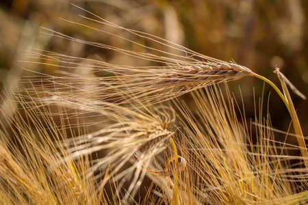 View of a grain field with ears of corn soon ripening. Reklamní fotografie