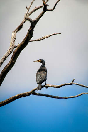 Image of a cormorant over a larger lake. These birds are said to eat too much fish.