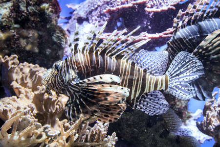 A dangerous lionfish on a reef.