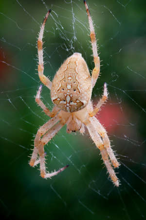 Macro of a garden spider in the web