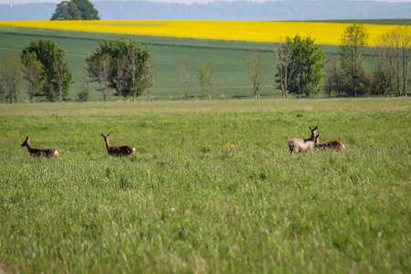 A group of deer grazes in a meadow.