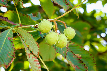 Detail of a chestnut tree with its prickly fruits