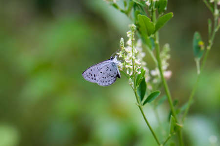 A bluish butterfly collects nectar from the flowers of a plant.