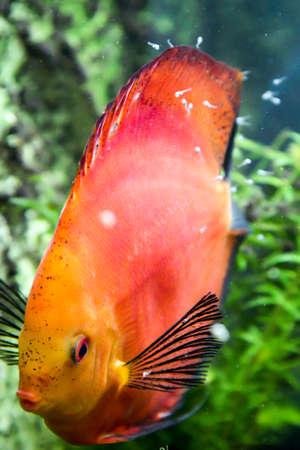 Close up portrait of discus fish in the aquarium. Imagens - 153839736