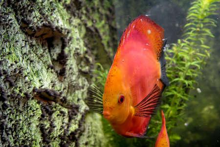 Close up portrait of discus fish in the aquarium. Stock Photo