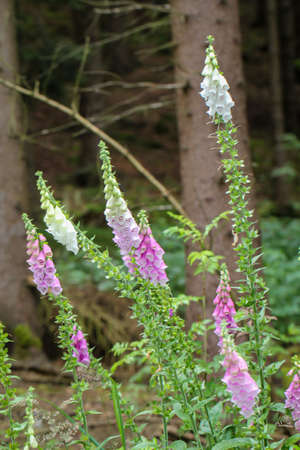 Photo of thimbles, thimble in the forest. Foxglove is poisonous and comes in different colors.