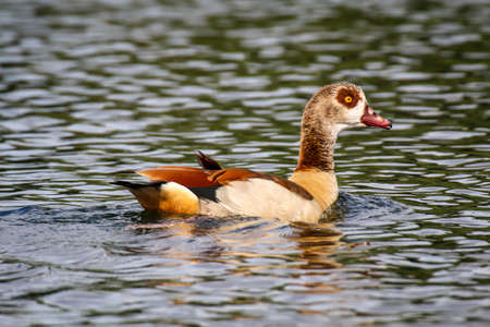 Portrait, view of Egyptian geese at a pond.