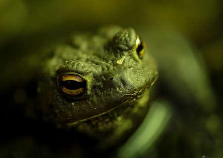 Close up portait of a common toad, Bora Bora.