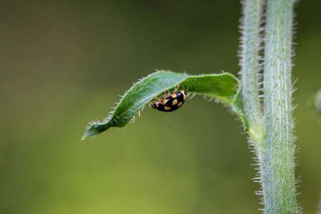 A black, yellow ladybug runs under a leaf.