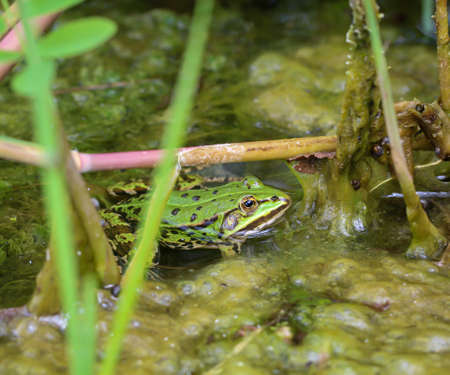 Close up of a green pond frog
