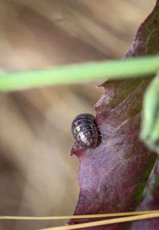 Close up of a woodlouse on a leaf.