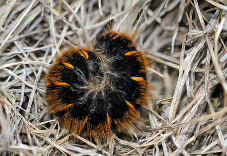 The caterpillar, larva of a blackberry moth, Macrothylacia rubi. It is a butterfly from the mother hen family.