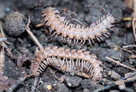 two bandworts (Polydesmus angustus) sit next to each other on the forest floor.