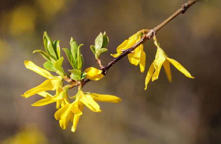The flowers of a Forsythia spectabilis shrub in spring. Standard-Bild