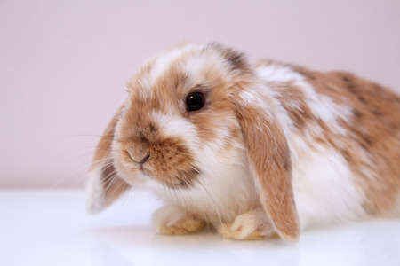 Photo shoot with a young dwarf rabbit