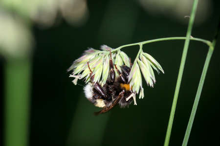 A close-up of a bumblebee while collecting grass pollen.