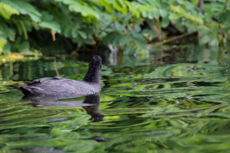 A portrait of a coot, moorhen in a pond.