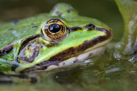 Close up of a green pond frog.
