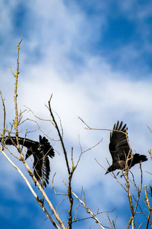 Two crows take off and land in the crown of a dead tree.