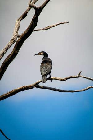 A cormorant on a tree looks down on a pond. 版權商用圖片