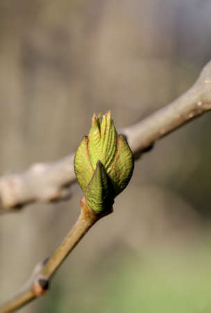 The young shoots of a deciduous tree in spring.