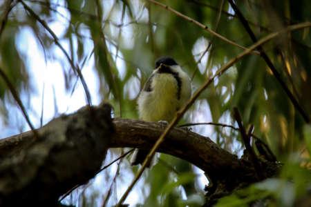 A great tit sits hidden in a tree. Zdjęcie Seryjne