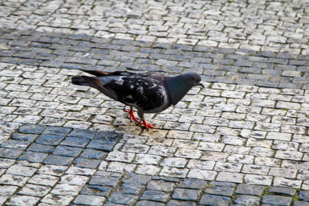 Portrait of a pigeon, Columbidae. You can find pigeons all over the world.